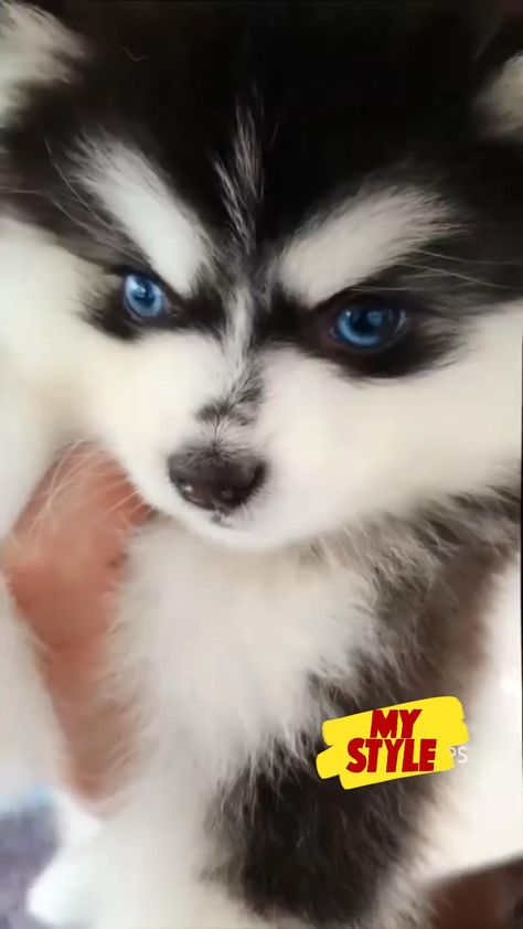 🐾 Charming and adorable Blue eyed Thor🐶🥰