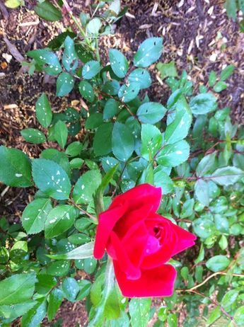To Treat White And Black Spots 1 G Water 1 Tbsp Baking Soda 2 Tbsp Veg Oil 1 Tbsp Dish Soap In Am Or Pm Water Pla Rose Bush Planting Roses Rose Bush Care