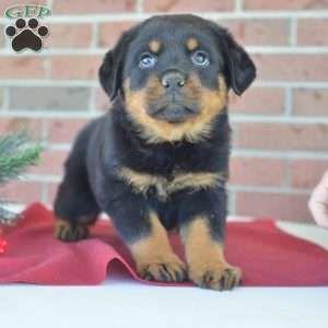 Ava Rottweiler Puppy Losing A Dog