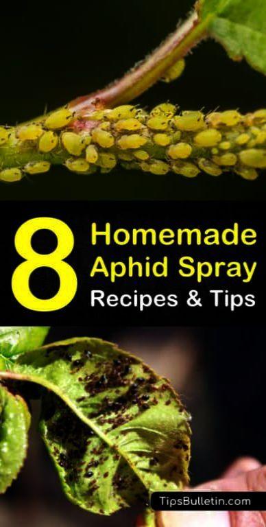 Gardening Tips Diy Everywhere Blueberries Gardening Tips For September Aphid Spray Organic Gardening Tips Aphids