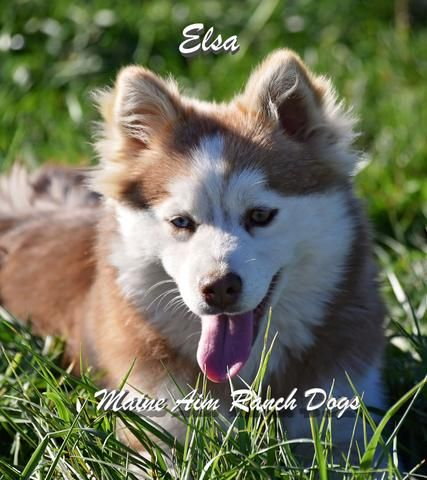 Pomsky Breeders Puppies For Sale In Wanye County Iowa Maine Aim Ranch Dogs Pomsky Breeders Puppies Puppies For Sale
