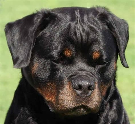 Image Result For Blockhead Rottweiler Rottweiler Puppies