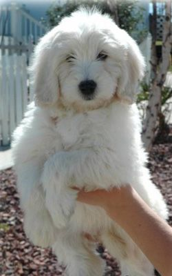Teddy Bear Golden Doodle Fluffy Dogs Puppies Dogs