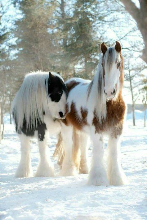 Horses in the snow – from Pine Valley Gypsy Vanner Drum Horses. Photography: Kim… Pferde im Schnee – von Pine Valley Gypsy Vanner Drum Horses. Cute Horses, Pretty Horses, Horse Love, Beautiful Horses, Animals Beautiful, Beautiful Beautiful, Beautiful Creatures, Absolutely Stunning, Animals And Pets