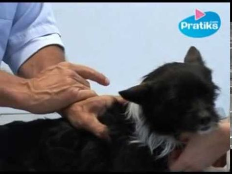 Conseils, astuces et traitements pour éliminer les tiques et les puces sur les animaux de compagnie (chien et chat).