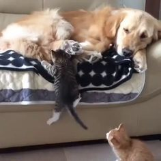 EldeRLY dOG IS BRUTALlY AttaCKED bY tWO LIonS
