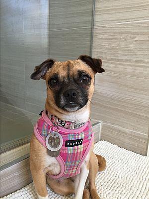 Jersey City Nj Pug Meet Rashida Jones A Dog For Adoption
