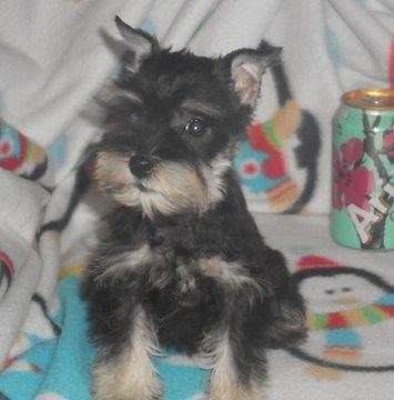Schnauzer Miniature Puppy For Sale In Hartville Mo Adn 69279 On Puppyfinder Com Gender Femal Miniature Puppies Schnauzer Puppy Miniature Schnauzer Puppies
