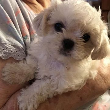 Litter Of 4 Shih Tzu Puppies For Sale In Garden Grove Ca Adn 69182 On Puppyfinder Com Gender Male Age 7 Weeks Old Shih Tzu Puppy Puppies For Sale Puppies