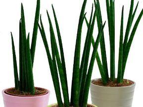 Kwiaty Doniczkowe Ktore Lubia Cien Plants Cactus Plants Clematis