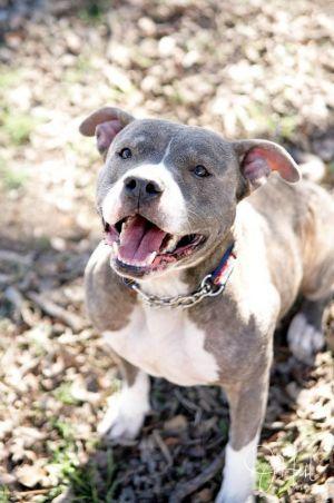 Jane Adoptable Dog Adult Female Staffordshire Bull Terrier Dog
