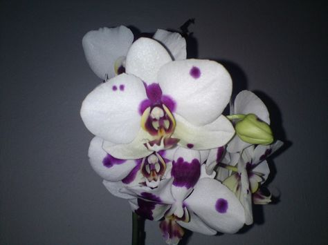 Potted Orchid, a very long lasting flowering plant