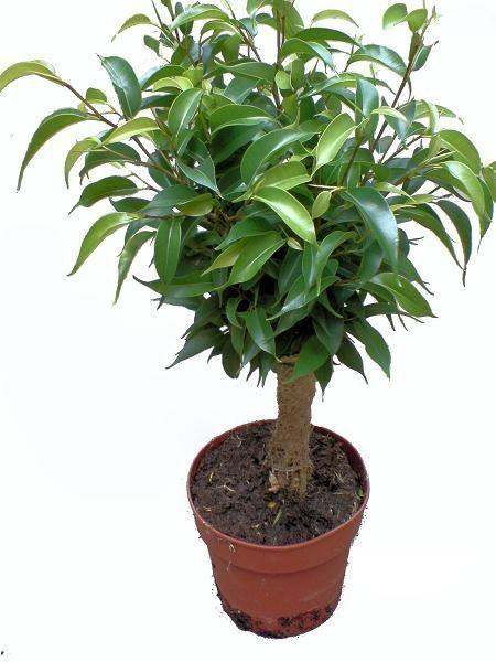 Ficus Benjamina Natasja In 2021 Ficus Benjamina Ficus Plants