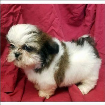 Teacup Shih Tzu Puppies Shihtzupuppy Pomeranianteacup Shih Tzu