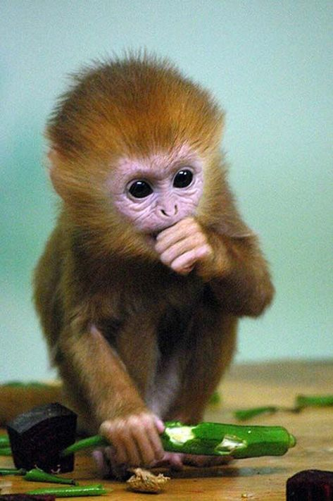 Funny baby monkey face