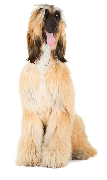 Top 7 Low Energy Hypoallergenic Dogs That Don T Shed 10 In 2020 Cute Dogs And Puppies Cute Baby Animals Cute Little Animals
