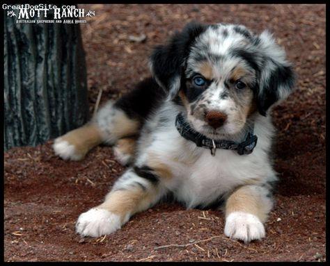 Australian Shepherd Puppy 8 Weeks Old Blue Merle Copper And