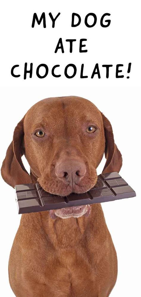 Dog Ate Chocolate Recognising Symptoms And What To Do Next Dog