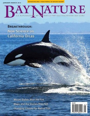 Bay Nature's January-March 2014 issue explores the different types of killer whales that visit the California coast. Cover photo of a breaching orca by Tory Kallman.
