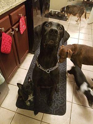 Acworth Ga Great Dane Meet Bandit A Dog For Adoption