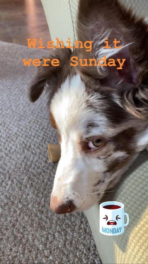 brodi__tbc on Instagram: Back to work, hooman. #mondaymood #brownbordercollie #brownbordercolliepuppy #dog #dogsofinstagram #puppiesofinstagram #puppylove #pandemic…