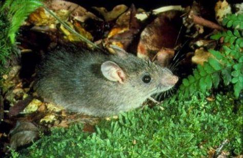 Bush Rat Bush Rat Forest Habitat Rat Species