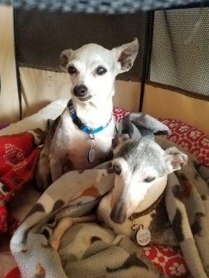 Adopt Noelle Houston Area On Italian Greyhound Dog Usa Dog Help Homeless Pets