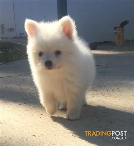 Pomeranian Puppies For Sale In Llandilo Nsw Pomeranian Puppies