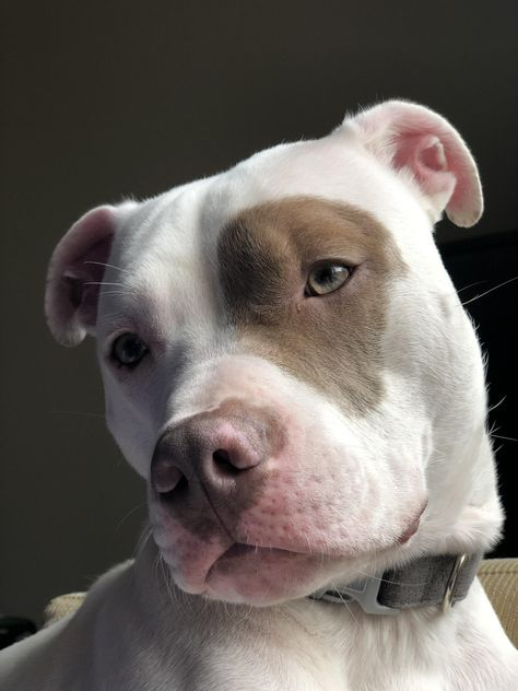 cute animals Which Pitbull mix breed is the perfect fit for you and your family? Learn about more than 44 different kinds of Pitbull mixes with facts and pictures. Pitbull Mix Breeds, Pitbull Mix Puppies, Cute Dogs And Puppies, Dog Breeds, Pit Bull Puppies, Pit Bull Mix, Doggies, Amstaff Terrier, Pitbull Terrier