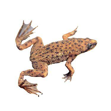 African Dwarf Frog | Dwarf frogs, Pet fish, Frog habitat