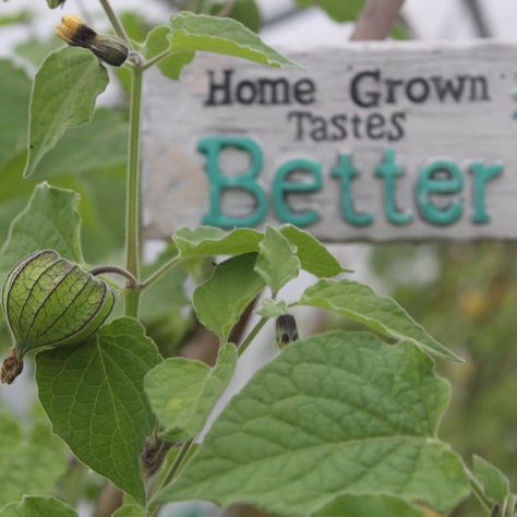 It's true!!! . . . . . . . . #gardening #garden  #polytunnel #homegrowntastesbetter #capegooseberry #fruit #allotment  #fruitgarden #inmygarden  #salad #healthyeating  #plants  #kitchengarden #allotment #gardener #thehappygardeninglife #polytunnel #potager #lovemygarden #epicgardening #gardenlove #eatwhatyougrow  #inmygarden #instagardeners #permaculture #gardeningtips #growwhatyoueat #ediblegarden #potager