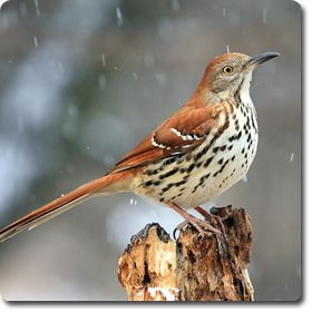 Brown #Thrasher – Learn All About the #Bird o' the Day – Backyard #WildBird Directory –