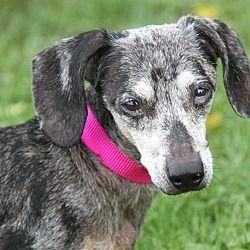 Pin By Monica Lynn On Rescue Animals Dachshund Adoption Pet
