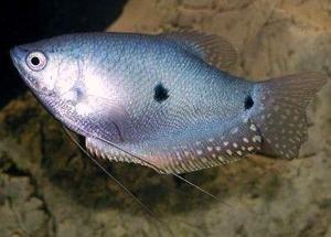 Blue Gourami Aquarium Fish Freshwater Aquarium Fish Tortoise As Pets