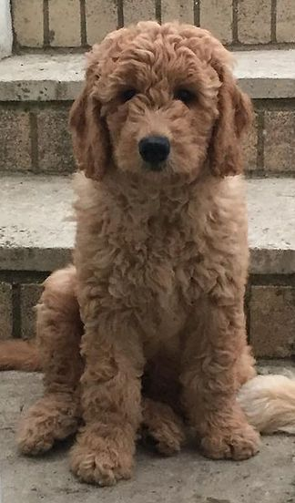 Goldendoodle Puppies For Sale United Kingdom Curtabemdoodles Goldendoodle Puppy Goldendoodle Puppies