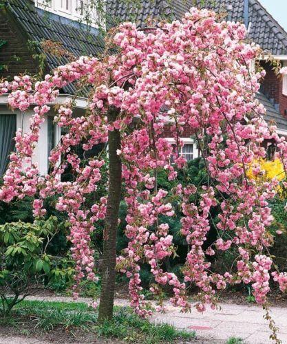 Cheal S Weeping Pink Flowering Cherry Tree 4 5ft P Serrulata Kiku Shidare Zakura Flowering Cherry Tree Cherry Tree Garden Shrubs