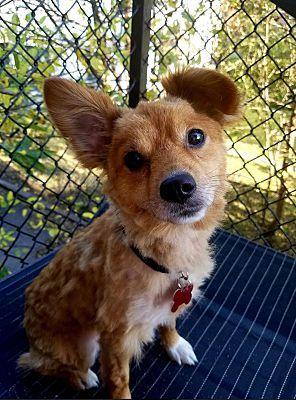 Rocky Hill Ct Corgi Meet Bougie A Pet For Adoption Pet