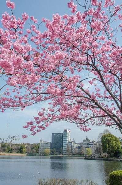 Finding Cherry Blossoms In Tokyo S Ueno Park Ever In Transit Ueno Park Cherry Blossom Tokyo Cherry