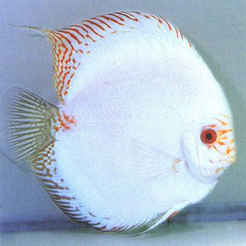 White Discus Fish   Common Name: White Butterfly Discus, Discus