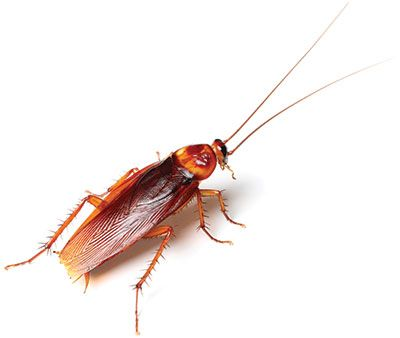 Remove Cockroaches From Your Home Now Pestcontrol Cockroache