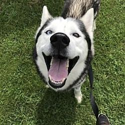 Pictures Of Nicholas Westhampton A Siberian Husky For Adoption