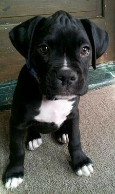 The lump on my head? Don't worry. I'll grow into it! | Boxer puppies, Boxer  dogs, Boxer puppy