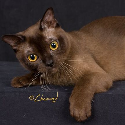 Burmese Cat Breeders Fanciers Breeder Referral List Burmese Cat Cat Breeder Burmese Cat Breeders