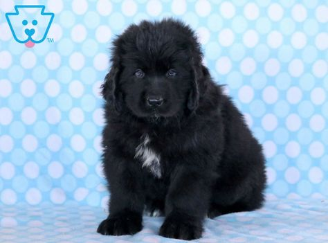 Dingo With Images Newfoundland Puppies Puppies For Sale Cute Baby Puppies