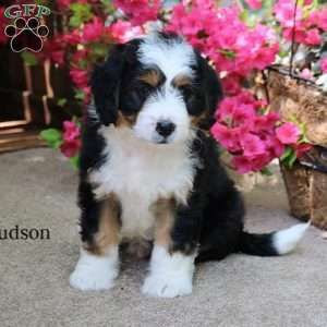 Mini Bernedoodle Puppy In Myerstown Pa Bernedoodle Puppy Bernedoodle Mini Bernedoodle