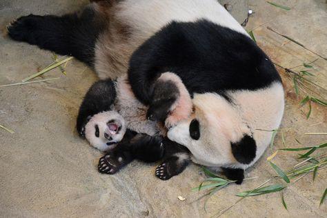 森森水族����9�����_2017年6月12日に生まれたジャイアントパンダの子「シャンシャン