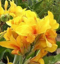 Fiori Giallo Oro.Canna Golden Girl Fiori Giallo Oro Con Puntini Arancioni Piu