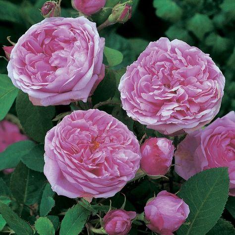 Rosier Comte de Chambord. Il est superbe. Il a de nombreuses roses, de différentes formes et il a une odeur sublime !!! wow à tomber parterre... S'il pleut, les fleurs s'abiment rapidement.