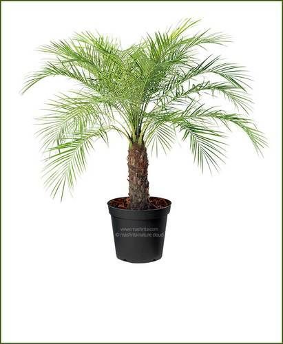 Image result for dwarf date palm