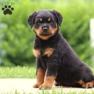 Pin By Rebekah Miles On Rottie Love In 2020 Rottweiler Puppies Rottweiler Puppies For Sale Bulldog Breeds